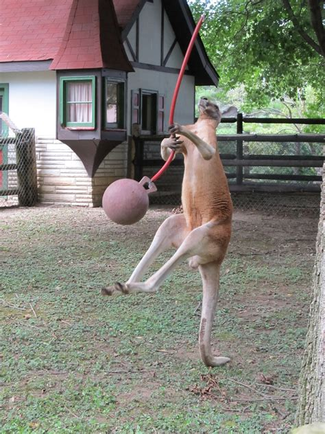 kangaroo playing horse australia emotional support jumping swing ball enclosure animals kill mammal marsupial outback wildlife portrait nature mooshme wants