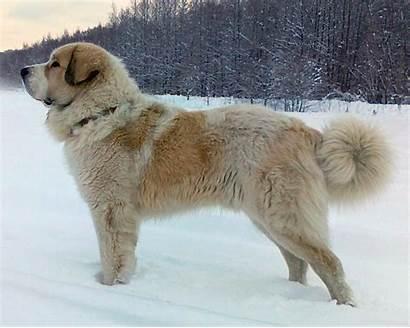 Mastiff Pyrenean Puppies Dog Puppy Temperament
