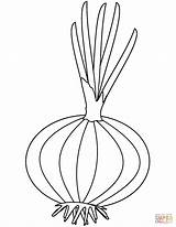 Onion Coloring Pages Printable Colouring Drawing Onions Template Sketch Adults sketch template