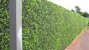 privacy plants privacy hedges youtube