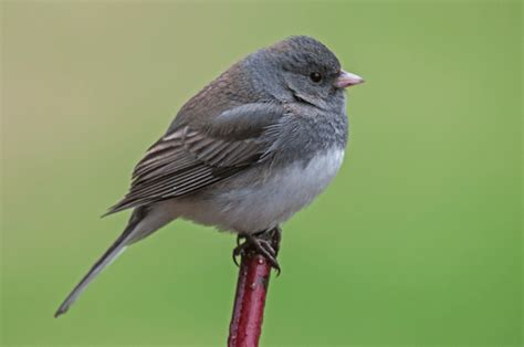 dark eyed junco philip schwarz photography blog