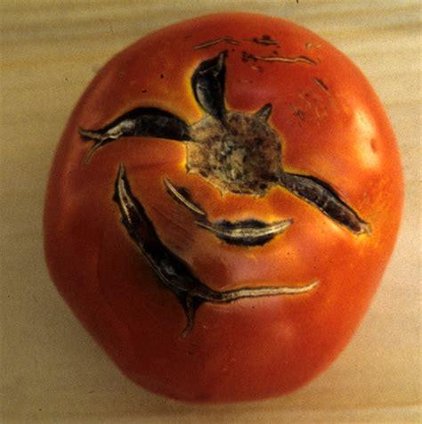 http://ag.umass.edu/vegetable/fact-sheets/tomato-fruit-cracking
