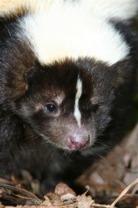 cute skunks pictures  images