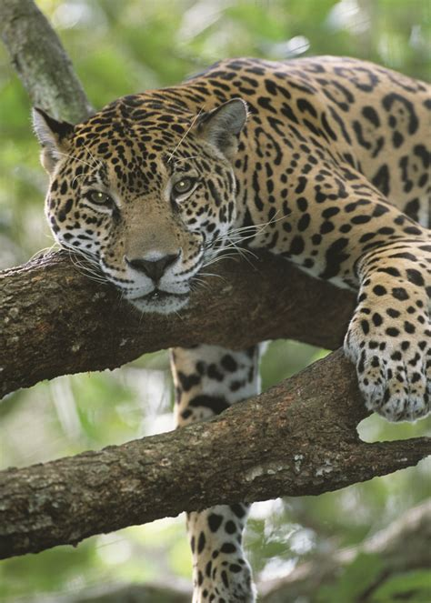 Adopt A Jaguar  Wildlife Adoption And Gift Center