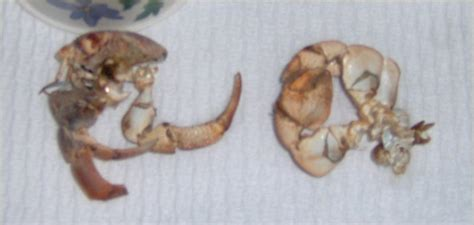Do Hermit Crabs Shed Their Shells by Hermit Crab Question Aquarium Advice Aquarium Forum