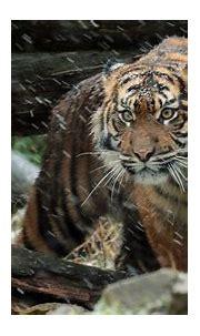 Wild Sumatran Tiger 4K Wallpapers | HD Wallpapers | ID #19599