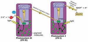 29 Photosystem 1 And 2 Diagram