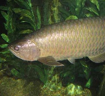 mengenal ikan kaloso arwana papua