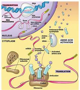 17 Best Images About Genetics And Protein Synthesis On Pinterest
