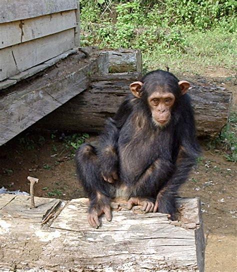 chimpanzees psychology wiki fandom powered by wikia