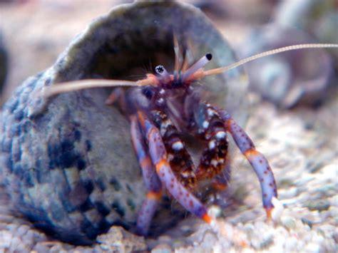 bernard l hermite aquarium r 233 cifal aquarium marin aquarium eau de mer reefguardian