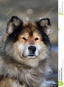Siberian Hunting Dog Laika, Taimyr, Siberia Stock Image ...