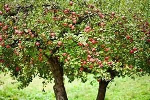 Apfelbaum Schneiden Sommer : baumschnitt beim apfelbaum richtig durchf hren ~ Lizthompson.info Haus und Dekorationen