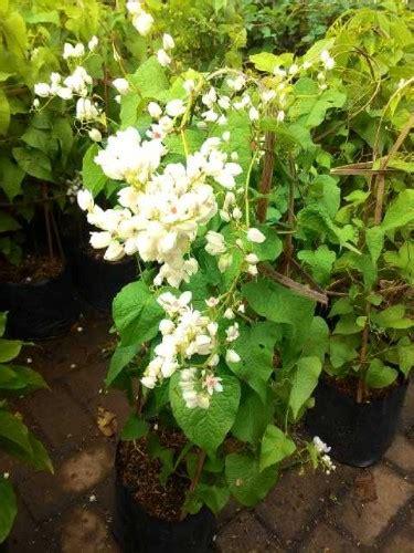 tanaman hias pagoda putih tanaman air mata pengantin putih bibitbunga