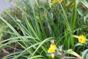 Acheter Des Plantes : carex oshimensis 39 evergreen 39 gramin es acheter des plantes en ligne ~ Melissatoandfro.com Idées de Décoration