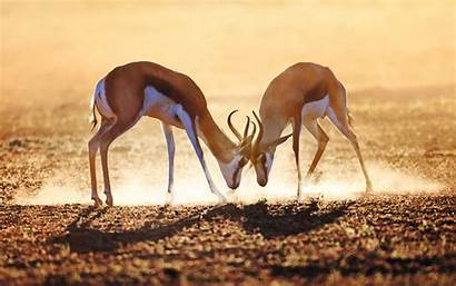 Africa South Kalahari Antelope Fight Morning Dust