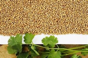 Cilantro leaves and coriander seeds - Harvest to Table