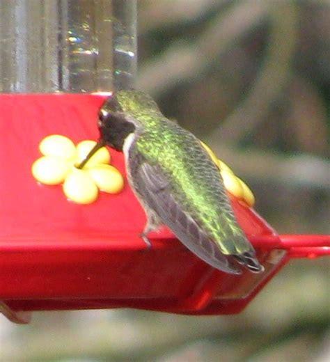 mystery bird anna s hummingbird calypte anna living
