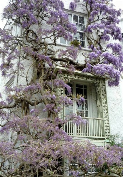 wisteria roots near house 105 best images about wisteria lane on pinterest gardens wisteria tree and monarch butterfly