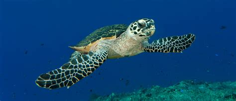 coral sea   hawksbill highway  critically