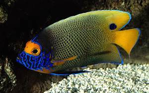Colorful tropical fish wallpaper albums #21 - 1680x1050 ...