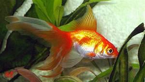 Queue De Poisson Voiture : le site du poisson rouge les vari t s de poisson rouge ~ Maxctalentgroup.com Avis de Voitures
