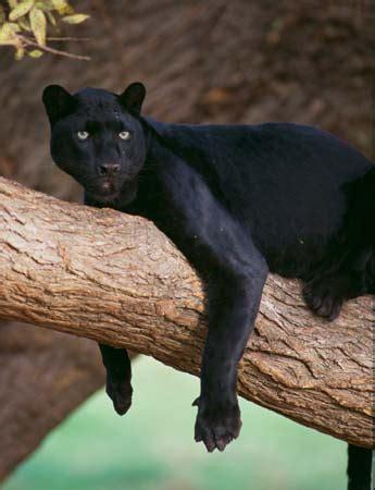 Black Jaguar Habitat black panther facts habitat diet britannica