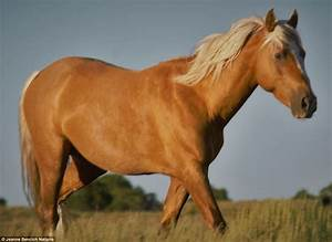 Trump the wild stallion could be sold for horse meat ...