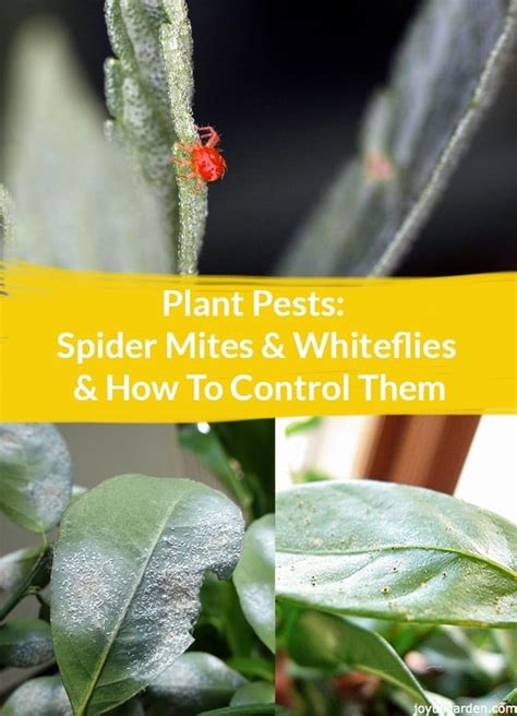 plant pests spider mites whiteflies   control