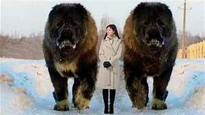 Largest Dogs In The World - YouTube
