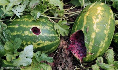 http://aggie-horticulture.tamu.edu/vegetable/watermelon/fruit-diseases/fruit-cracking-scarring/