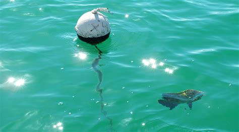 tripletail fishing florida sportsman