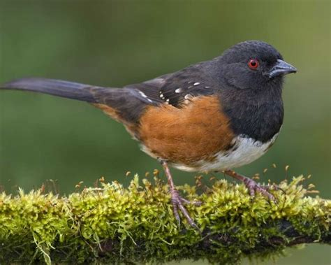 pacific northwest small birds spotted towhee national