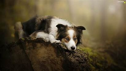 Collie Border Dog Muzzle Log Wallpapers Phone