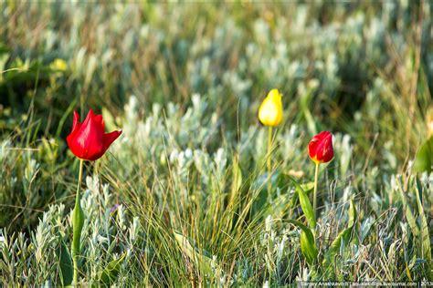 Скифский тюльпан фото