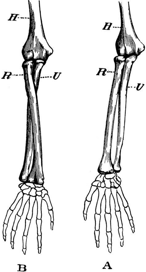 arm bones clipart