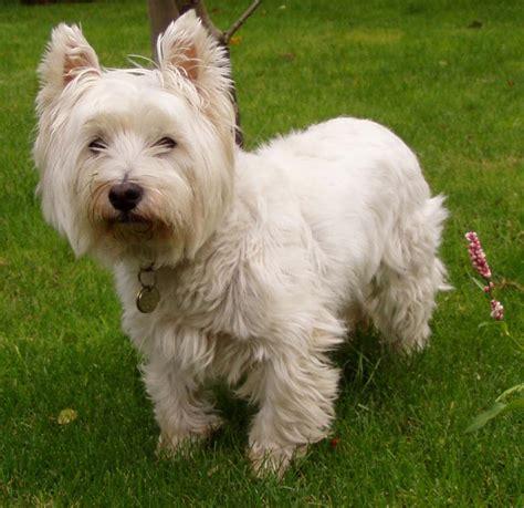 Filewest Highland White Terrier Jpg
