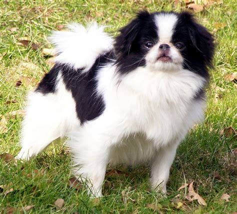 Japanese Chin Puppies Rescue Pictures Information Temperament Characteristics Animals