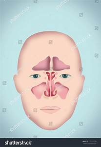 Sinus Diagram Human Anatomy Without Labels Stock