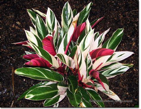 Stromanthe Sanguinea Tricolor