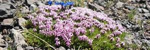 Blumen Für Steingarten : bergwelt f r daheim die 17 beliebtesten steingartenpflanzen garten ~ Markanthonyermac.com Haus und Dekorationen