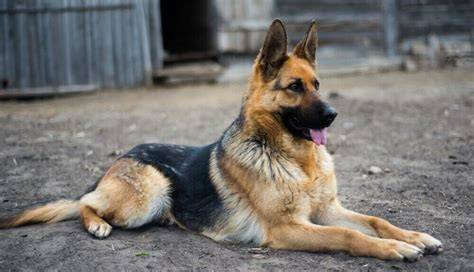 German Shepherd Personality and Trainability – Inside Dogs ...