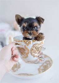 Best Teacup Yorkie Puppies Ideas And Images On Bing Find What