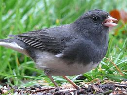 Image result for picture of junco