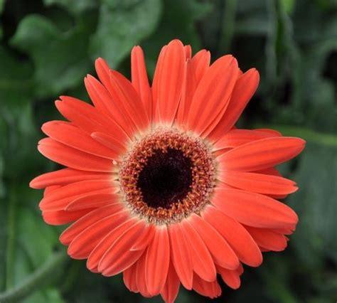 menanam  merawat bunga gerbera  pot polybag