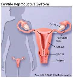 Shedding Of The Endometrial Lining Occurs by Female Reproductive System Organs Function And More