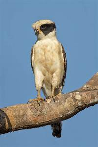 Laughing falcon - Wikipedia  Falcon