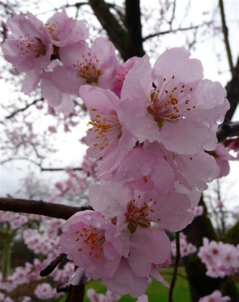 mandelbaum heilpflanzen heilkraeuter