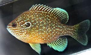 Jonah U0026 39 S Aquarium    Lepomis Marginatus 09  Dollar Sunfish