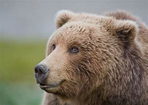 Grizzly Bear Profile Face